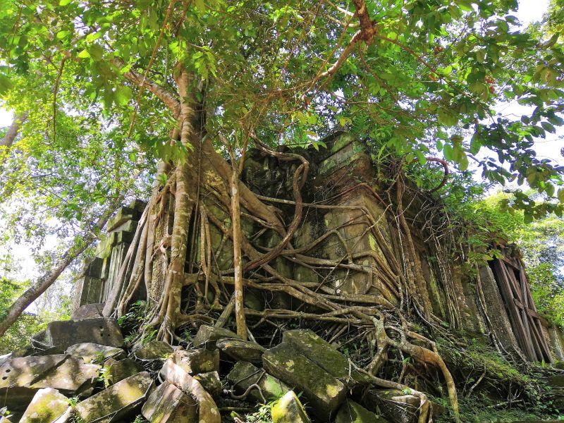 überwachsene Tempelanlage am Angkor Wat Kambodscha