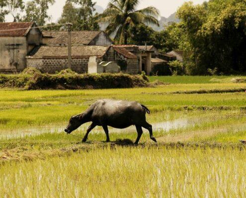 Reisfelder in Zentralvietnam. Bauer und Büffel bei der Arbeit.