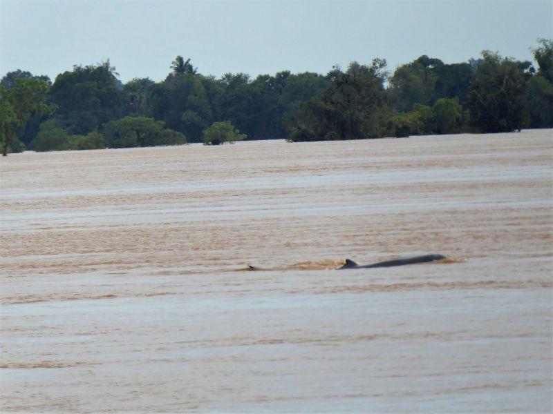 Irrawaddy Delfine Laos