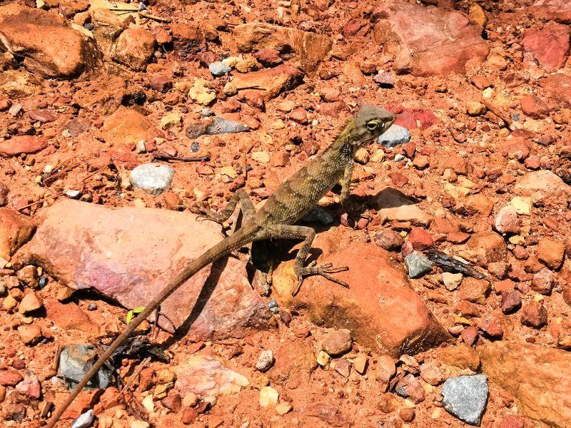 Kep Nationalpark Kambodscha Echse