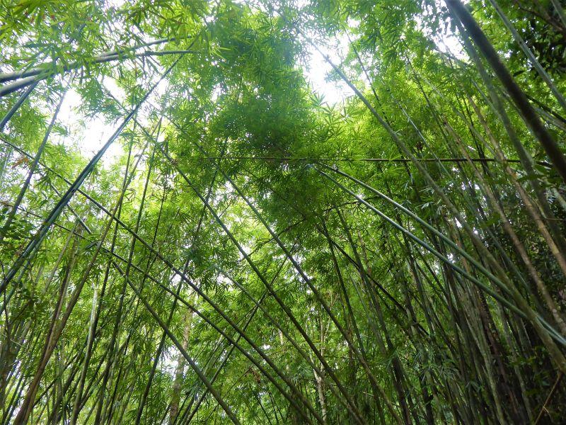 Khao Sok Nationalpark Süd-Thailand. Bambuswald.