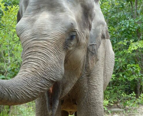asiatischer Elefant im Phnom Tamao Wildlife Rescue Center