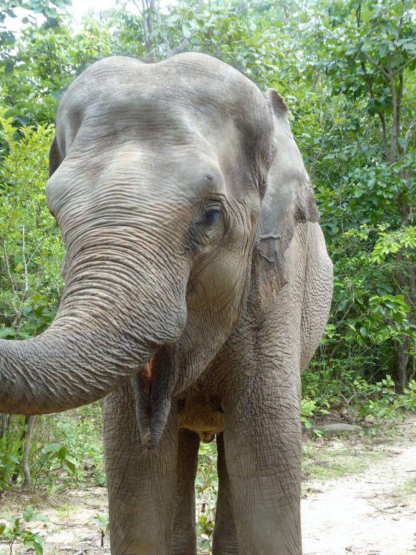 asiatischer Elefant im Phnom Tamao Wildlife Rescue Center