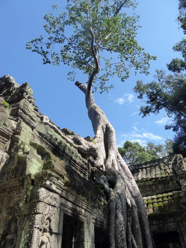 Baum wächst auf Tempel in Kambodscha