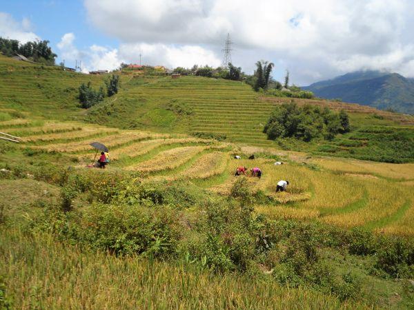 Vietnams Bergwelt nähe Sapa. Reisernte auf den Reisterrassen in Vietnam.