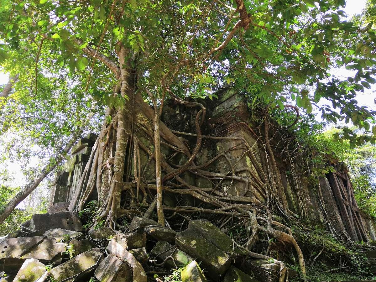 Die Natur gewinnt die Oberhand in Angkor Wat, Kambodscha