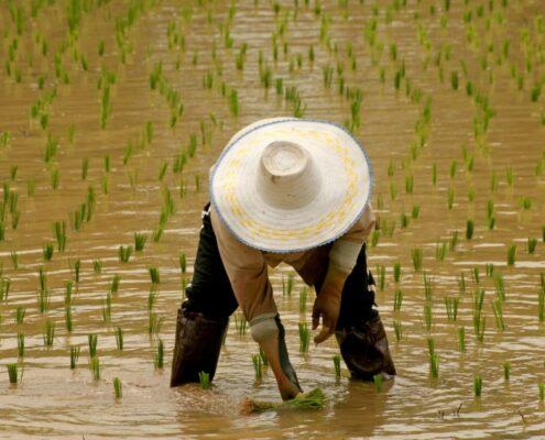 Vietnam Reis setzen Reisanbau