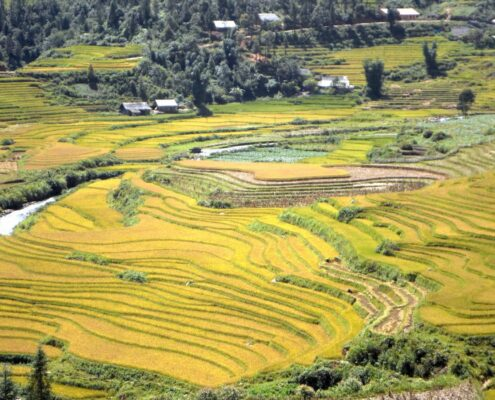 Reisfelder in voller Blüte in Nord-Vietnam