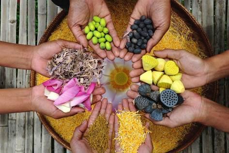 Samatoa Lotus Farm_Siem Reap