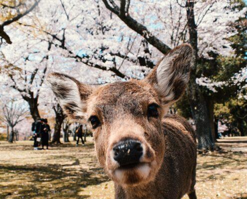 Ein zahmes Reh im Nara Park
