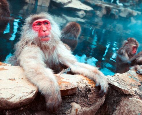 Japan Schnee-Affen in heißer Quelle